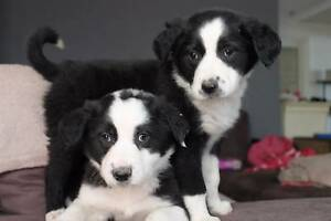 purebred border collie puppies Melbourne CBD Melbourne City Preview