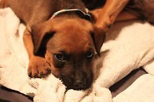 Gorgeous Pups Looking for new Forever Homes Beerwah Caloundra Area Preview