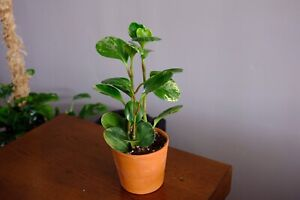 Variegated Pepperomia indoor house plant
