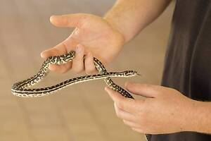 South West Carpet Python Yearling #32 Huntingdale Gosnells Area Preview