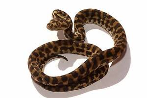 SW Carpet Pythons - Hatchlings for sale Iluka Joondalup Area Preview