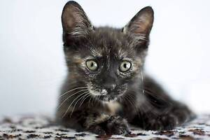 Ava rescue KITTEN to adopt VET WORK INC Carramar Wanneroo Area Preview
