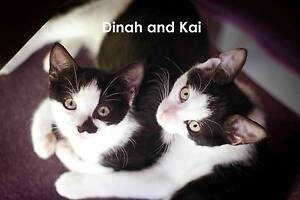 RESCUE KITTENS - Dinah and Kai - Cat Rescue Port Stephens Salamander Bay Port Stephens Area Preview