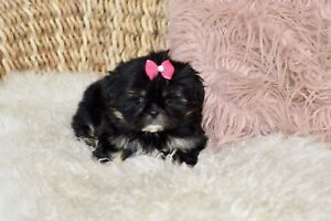 Minuscule Shih Tzu imperial de taille Toy (Pension Puppy Love)