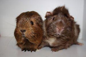 Opt to Adopt (Guinea Pigs) Elanora Gold Coast South Preview