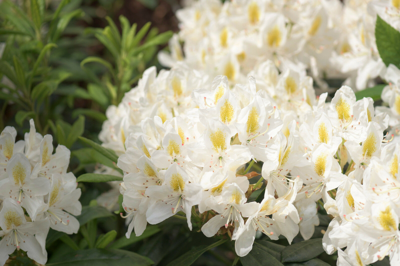 Rhododendron Madame Masson 20 30cm Tall In 15l Pot Stunning