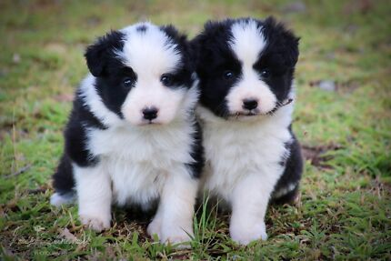 Pedigree Registered Purebred Border Collie Puppies with Papers Broughton Charters Towers Area Preview