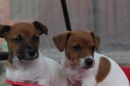 Foxie X Jack Russell Pups x1 Male x1 Female Goulburn 2580 Goulburn City Preview