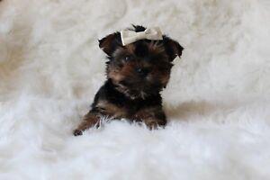Tiny Teacup Teddy Bear Morkie Puppy