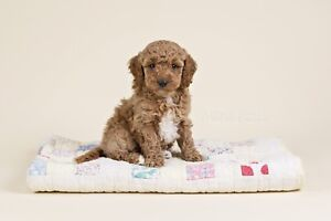 Adorable MINI POODLE Puppies FOR SALE In Ontario