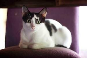 RESCUE CAT - Cat Rescue Port Stephens - Moo Moo Salamander Bay Port Stephens Area Preview
