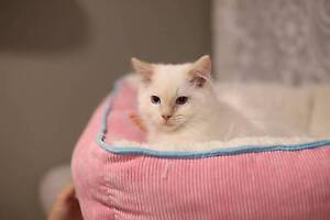 Purebred cream/flame point ragdoll kittens for new home Castle Hill The Hills District Preview