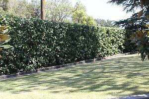Lawn mowing ,Hedge Trimming, Gutter Cleaning  Gardening Services Epping Ryde Area Preview