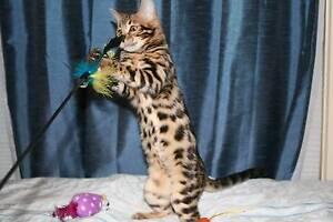 Bengal Female Desexed Kittens Armidale Armidale City Preview
