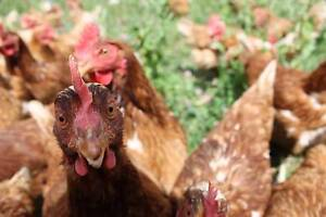 2ND YEAR LAYER HENS FOR SALE GUYRA NSW Guyra Guyra Area Preview