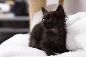 AK1573 : Draco - KITTEN FOR ADOPTION - Expressions Of Interest Secret Harbour Rockingham Area Preview