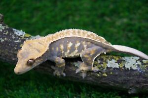 Sub-Adult Female Crested Gecko