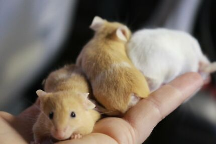 Bob tail mice (Manx)