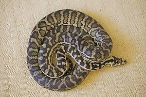 Adult Female Carpet Python Huntingdale Gosnells Area Preview