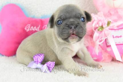 Blue and Blue Fawn French Bulldog Puppies
