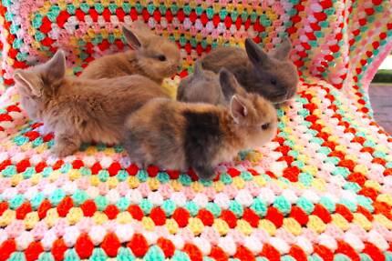 Purebred Mini Lop Baby Rabbits ♥︎ Riverton Canning Area Preview