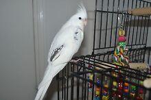 Missing White Cockatiel East Branxton Cessnock Area Preview