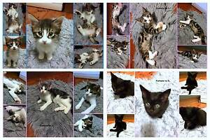 Kittens for Sale Penrith Penrith Area Preview