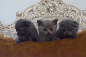 Scottish Fold Kittens Purebred and TICA Registered ( lilac, blue