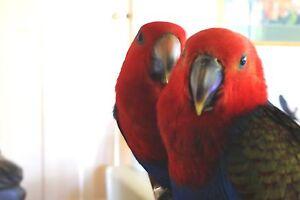Female Eclectus Parrots x2 Tewantin Noosa Area Preview