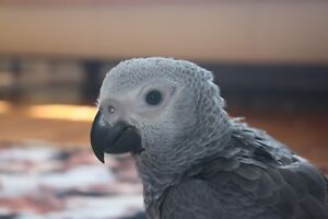 8 week old hand fed Congo African Grey babies