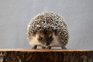 Registered Hedgehog Breeder