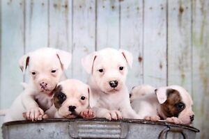 American Bulldog Puppies For Sale