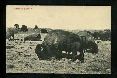 Animal postcard Buffalo in Canada #469 Vintage 1915