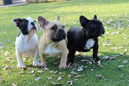 French Bulldog Puppies on main papers. Wilberforce Hawkesbury Area Preview