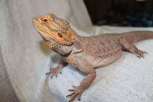 Bearded dragon with supplies