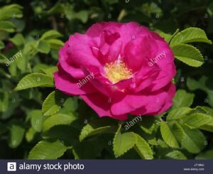 Seeking Wild Roses for charity memorial garden