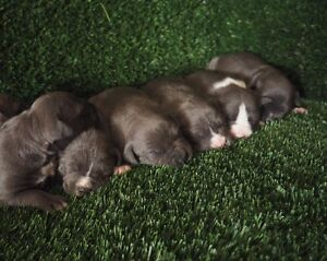 Pure Bred Blue American Staffy Pups For Sale Penrith Penrith Area Preview