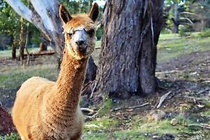 Alpacas for sale Ironbank Adelaide Hills Preview