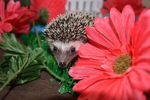 Baby hedgehogs from Crooked Quills