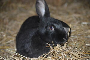 English lop X Does