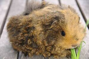 FLUFFY BABY GIRL TEXEL GUINEA PIGS Berowra Hornsby Area Preview