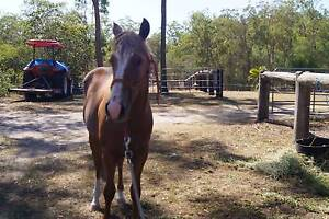 CHESTNUT FILLY, VERY QUIET & FRIENDLY, REG PAINT Maryborough Fraser Coast Preview