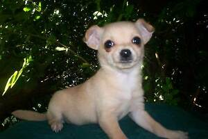 Chihuahua Puppies Adelaide CBD Adelaide City Preview