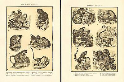 Old World Monkeys (Monkeys, Old World And American, Monkeys, Vintage, 1908 Antique, Art, Print, )