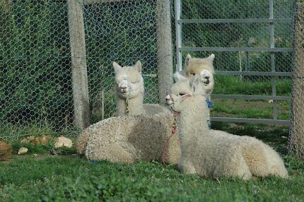 Alpacas for Sale  Ballan Moorabool Area Preview