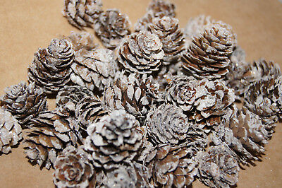 Zapfen Tannenzapfen Dekoration basteln Herbst Weihnachten 2-4cm natur weiß