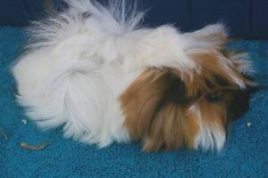 GORGEOUS BABY GIRL GUINEA PIGS only  1 LEFT Berowra Hornsby Area Preview