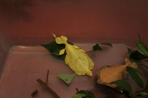 """RARE Eggs of leaf insect Phyllium letiranti """"Tataba"""" from Yellow female x30"""