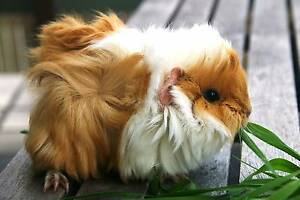 FLUFFY BABY BOY GUINEA PIGS ONLY 1 LEFT BE QUICK !!!!!! Berowra Hornsby Area Preview