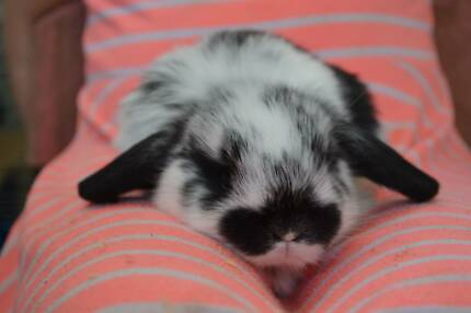 Mini Lop baby rabbits kits available 30/10/15 Maraylya The Hills District Preview